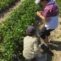 Self-cueillette de fraises et petits fruits à La Fraisière