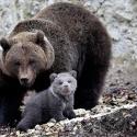Le Juraparc et ses nouveaux arrivants (oursons et bisonneaux)
